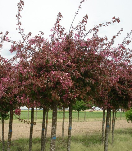 Vente en ligne de Pommier d'ornement pleureur à fleur pourpre 0
