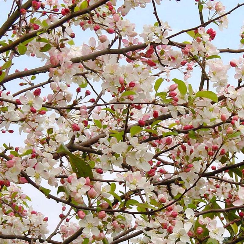 Vente en ligne de Pommier à fleurs Evereste 0