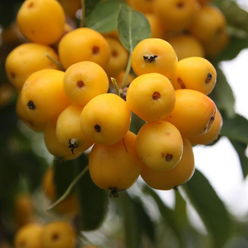 Vente en ligne de Pommier d'ornement à fruit jaune 0