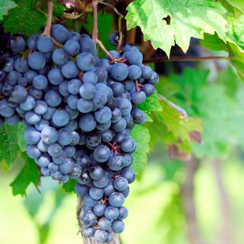 Vente en ligne de Vigne noire 1
