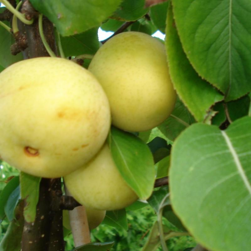 Vente en ligne de NASHIS - Pyrus pyrifolia 'Shinseiki' 1