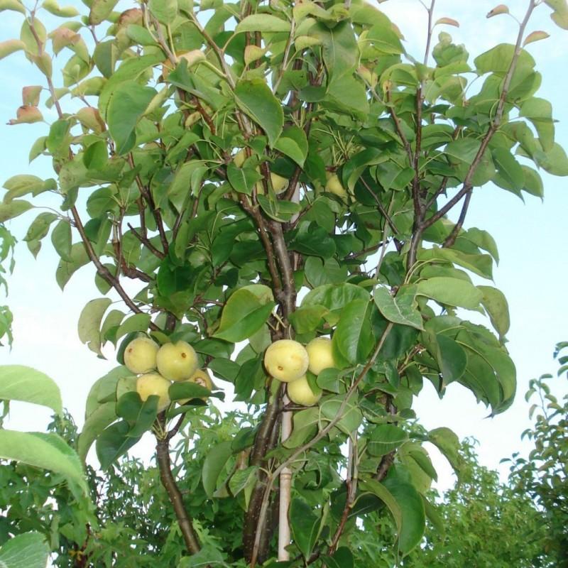 Vente en ligne de NASHIS - Pyrus pyrifolia 'Shinseiki' 2