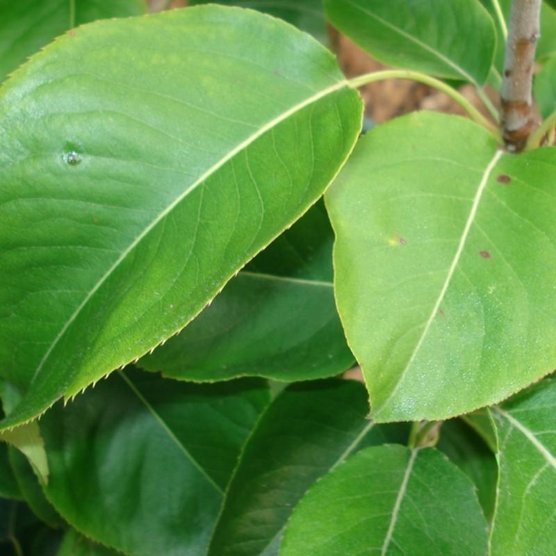 Vente en ligne de NASHIS - Pyrus pyrifolia 'Shinseiki' 3