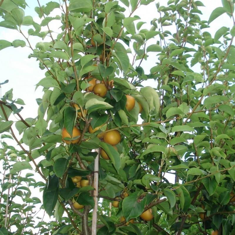Vente en ligne de NASHIS - Pyrus pyrifolia 'Shojuro' 2
