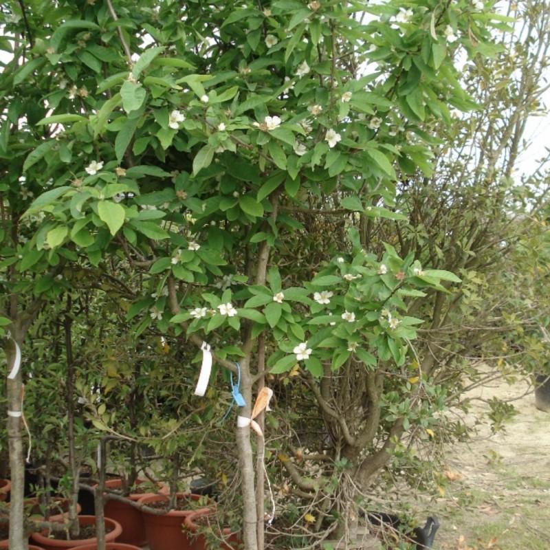 Vente en ligne de NEFLIER - Mespilus germanica 3