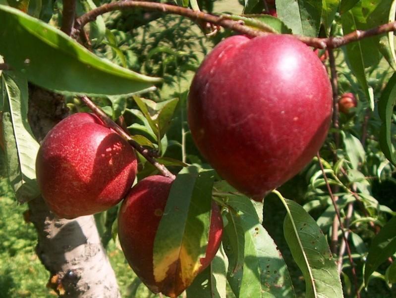 Vente en ligne de NECTARINE - Prunus persica var.nucipersica 'Violet' 0