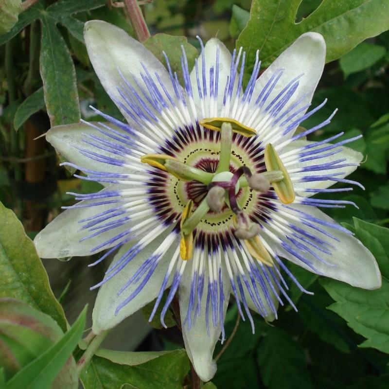 Vente en ligne de Passiflore à fleurs blanches 0