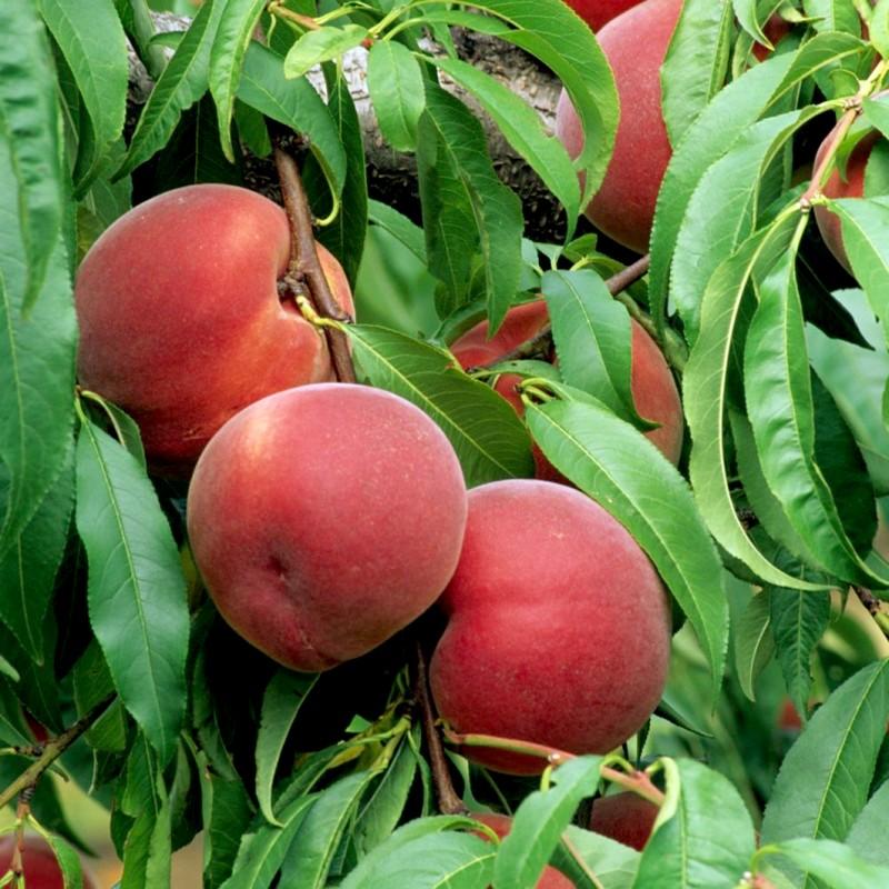 Vente en ligne de PECHER - Prunus persica 'Reine des vergers' 0