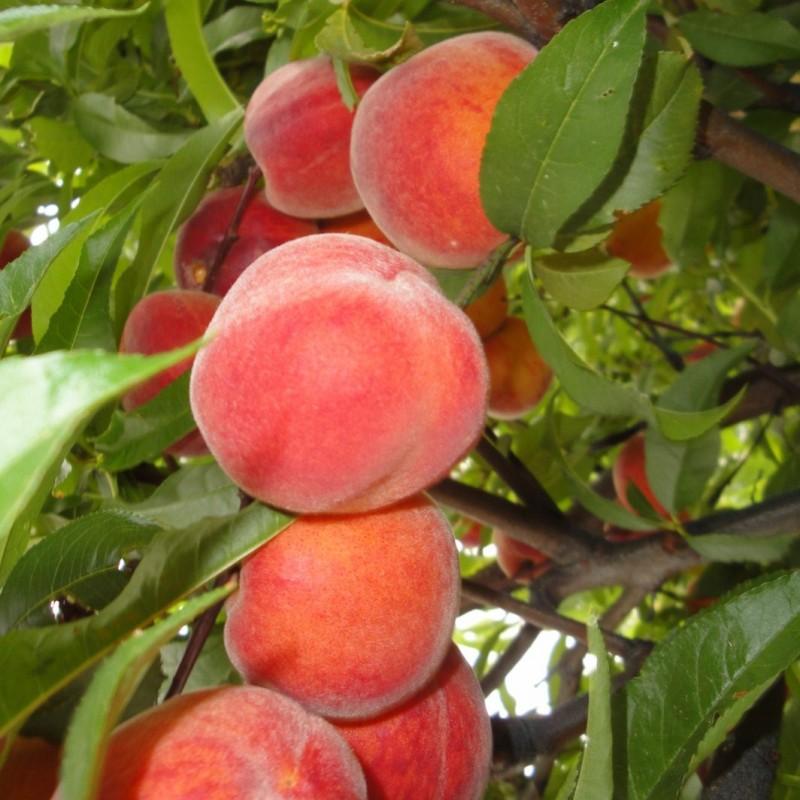 Vente en ligne de PECHER - Prunus persica 'Dixired' 1