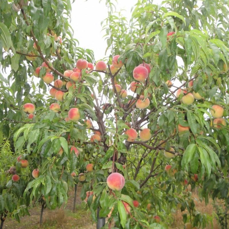 Vente en ligne de PECHER - Prunus persica 'Dixired' 2