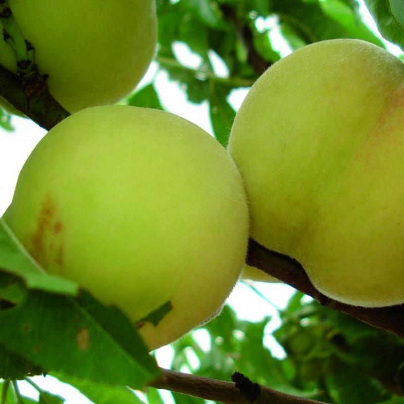Vente en ligne de PECHER - Prunus persica 'Grosse mignonne' 0