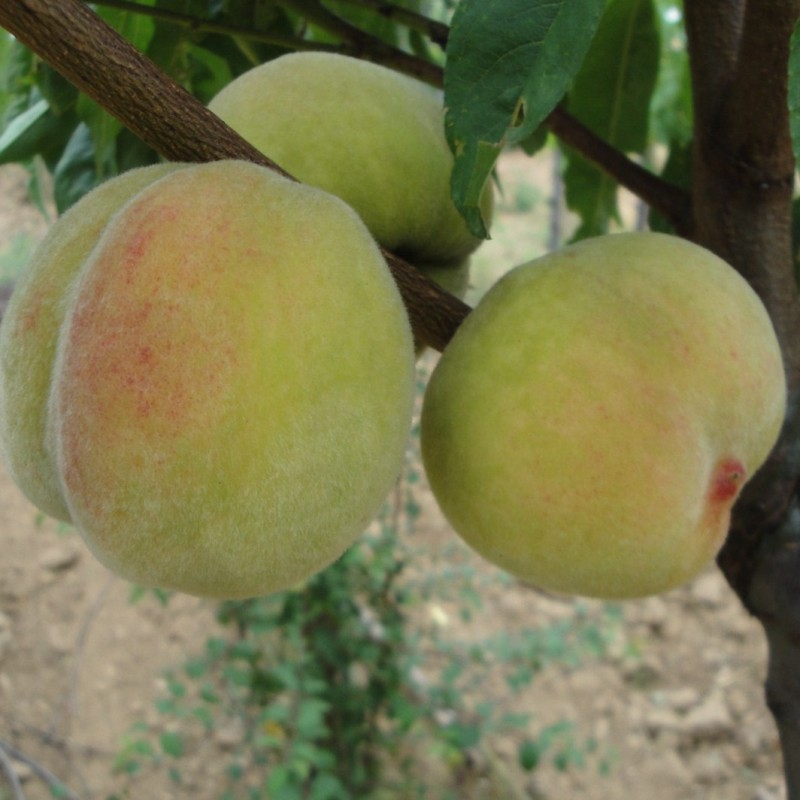 Vente en ligne de PECHER - Prunus persica 'Grosse mignonne' 1