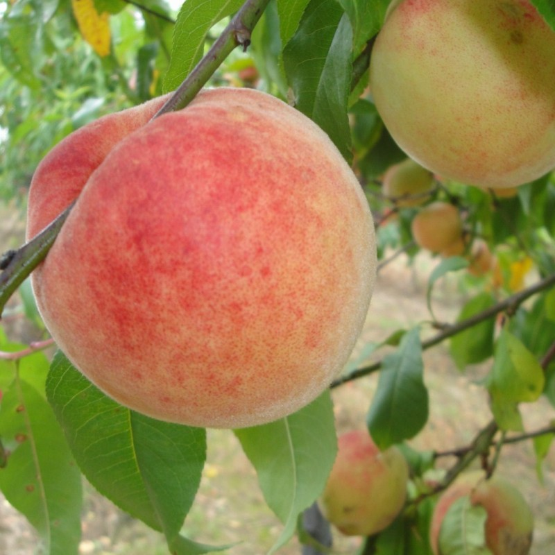 Vente en ligne de PECHER - Prunus persica 'Incomparable Guilloux' 0