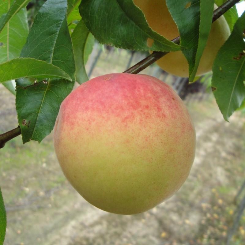 Vente en ligne de PECHER - Prunus persica 'Incomparable Guilloux' 1