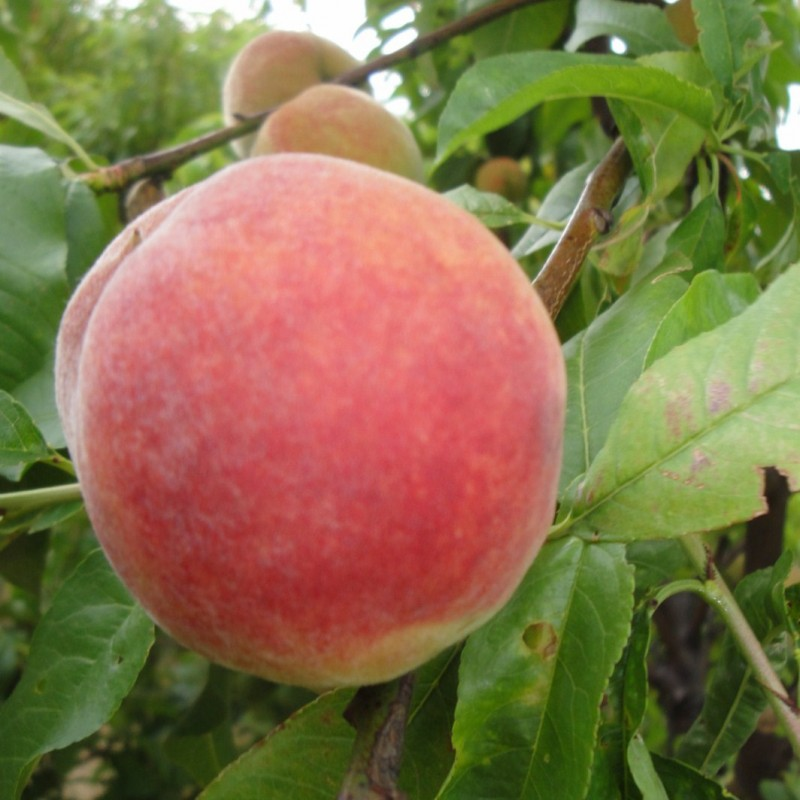 Vente en ligne de PECHER - Prunus persica 'Incomparable Guilloux' 2