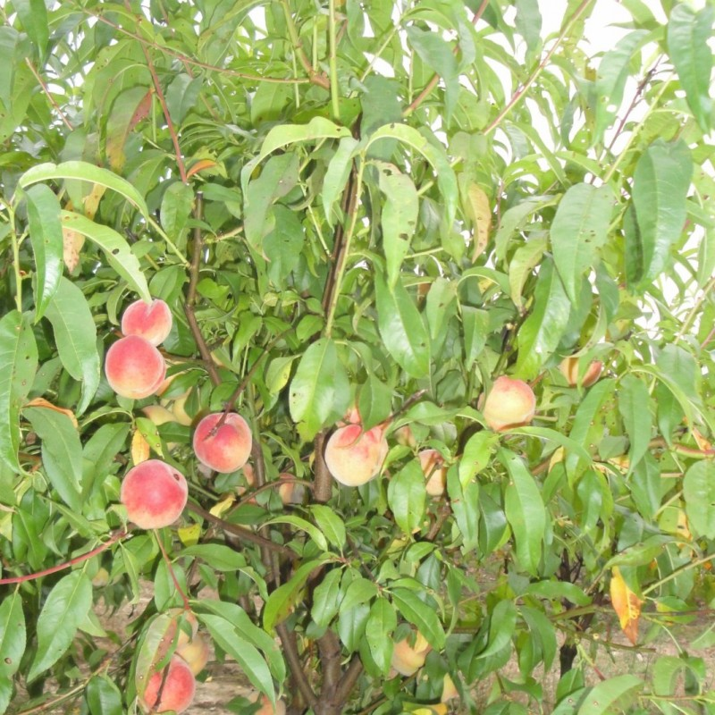 Vente en ligne de PECHER - Prunus persica 'Incomparable Guilloux' 3