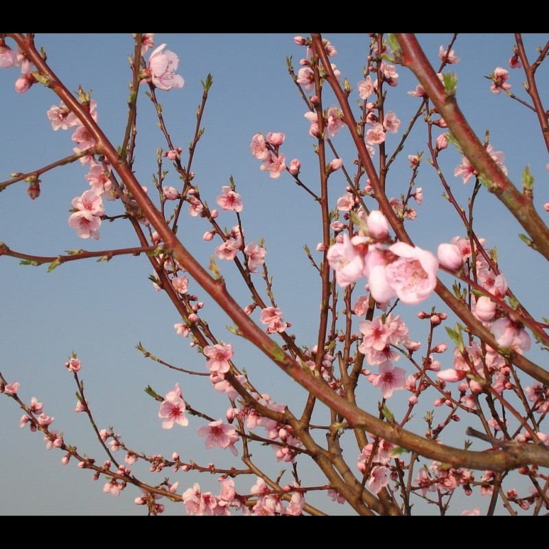 Vente en ligne de PECHER - Prunus persica 'Redhaven' 1