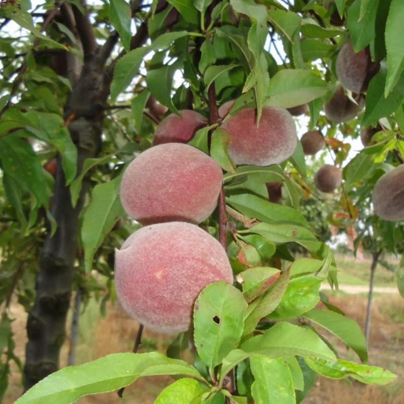 Vente en ligne de PECHER - Prunus persica 'Sanguine' 1
