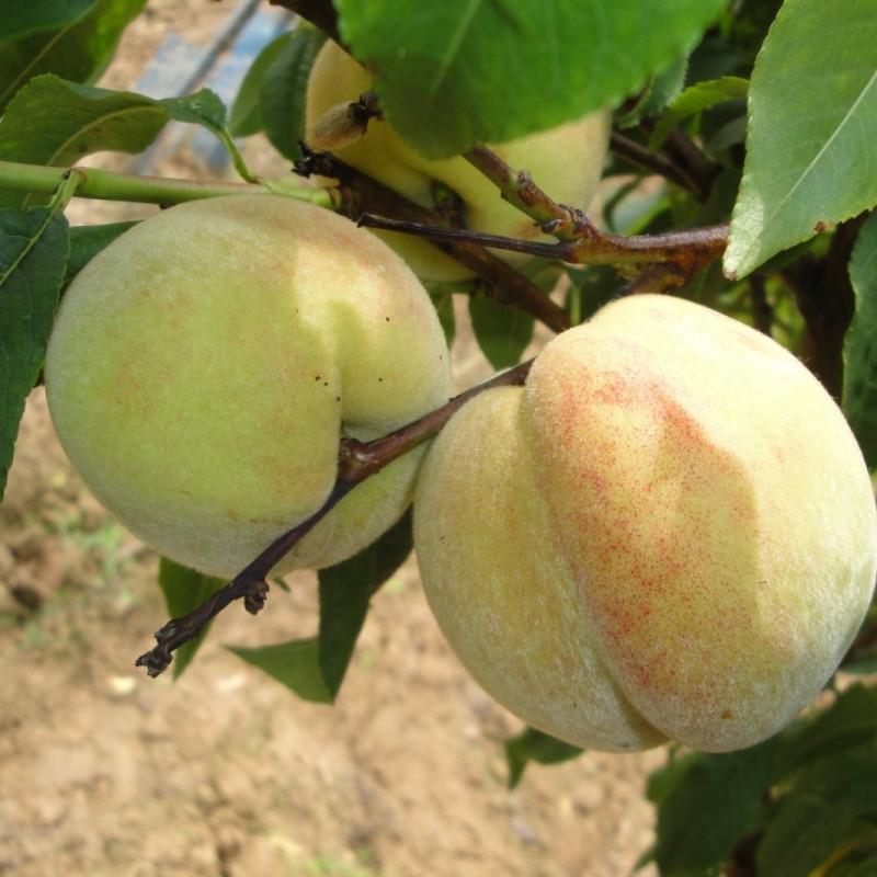 Vente en ligne de PECHER - Prunus persica 'Tardive du Mont d'or' 0