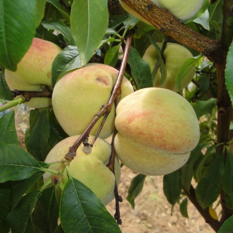 Vente en ligne de PECHER - Prunus persica 'Tardive du Mont d'or' 1