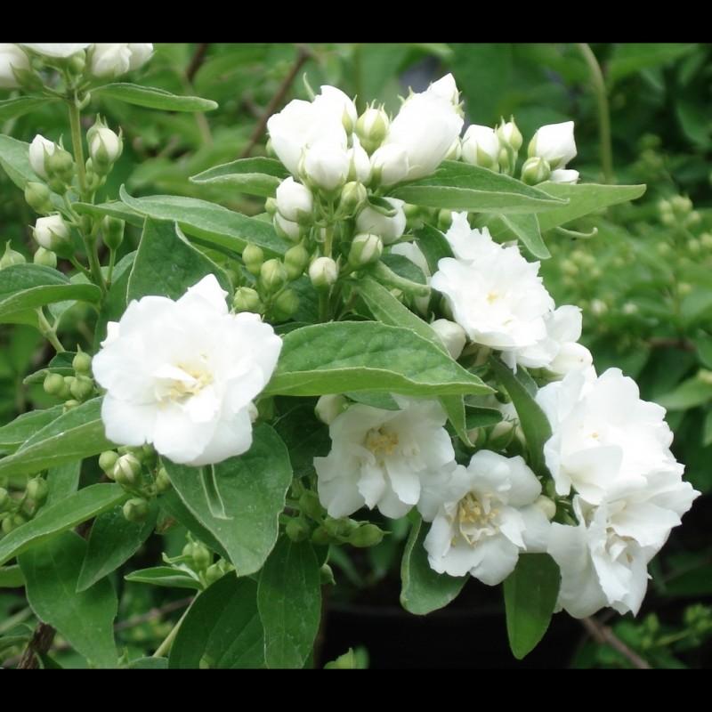 Vente en ligne de Seringat 'Bouquet Blanc' 0