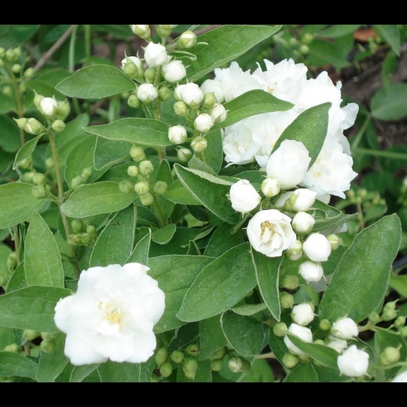 Vente en ligne de Seringat 'Bouquet Blanc' 1