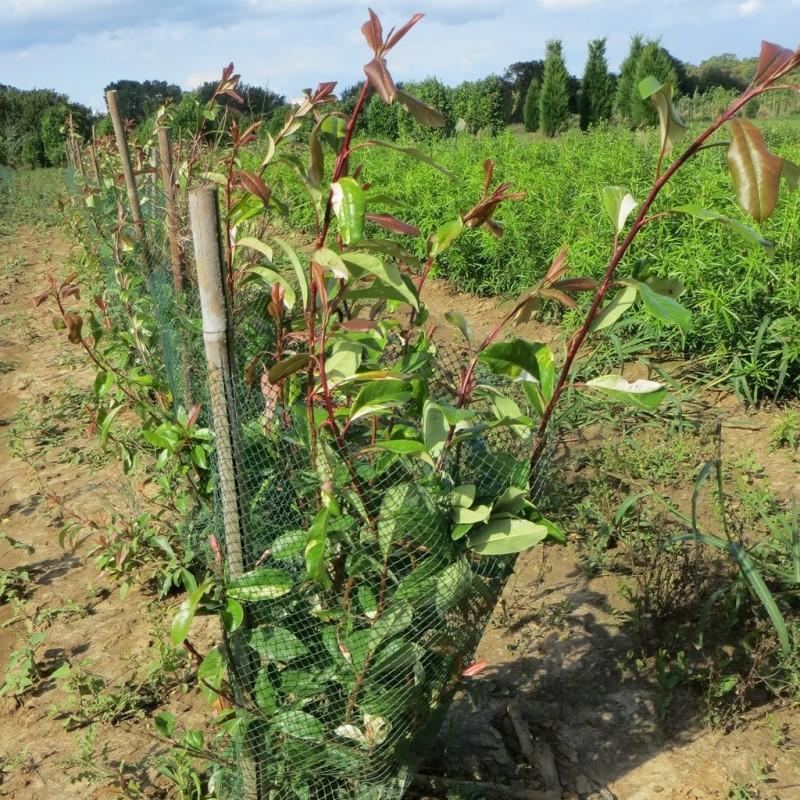 Vente en ligne de Photinia panaché 1