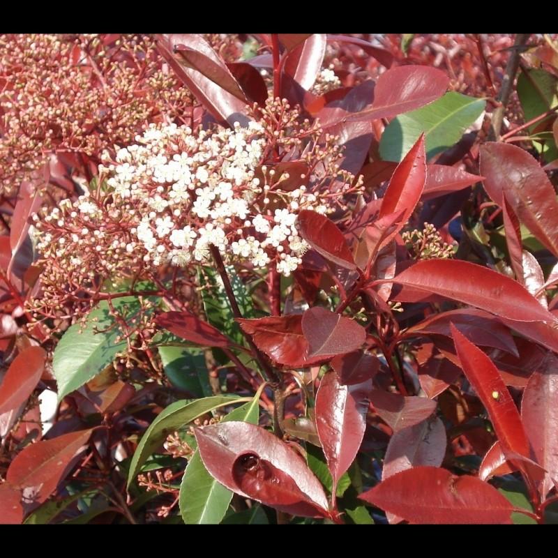 Vente en ligne de Photinia fraseri Red robin 0