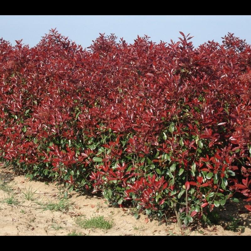 Vente en ligne de Photinia fraseri Red robin 3