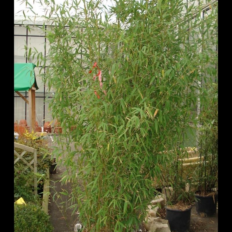 Vente en ligne de Bambou doré 1