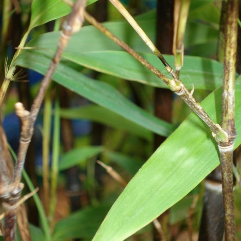 Vente en ligne de Bambou noir 1