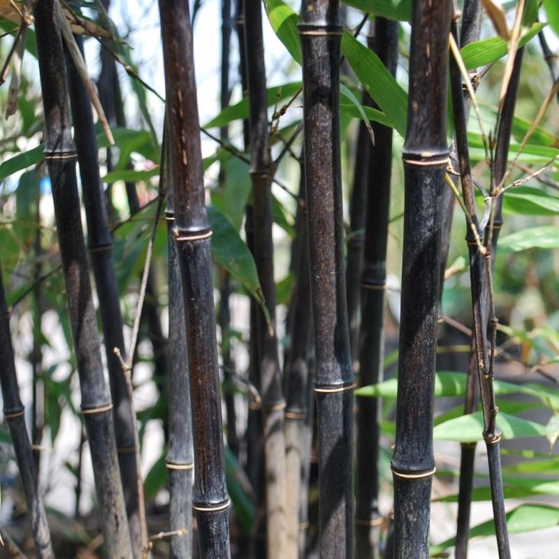 Vente en ligne de Bambou noir 2