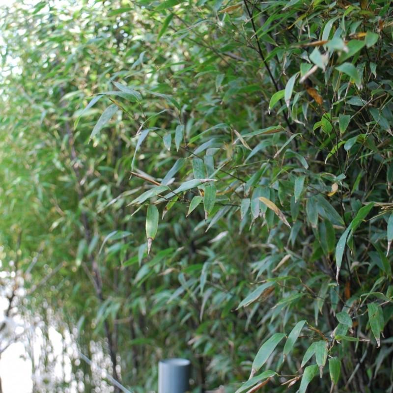 Vente en ligne de Bambou noir 3