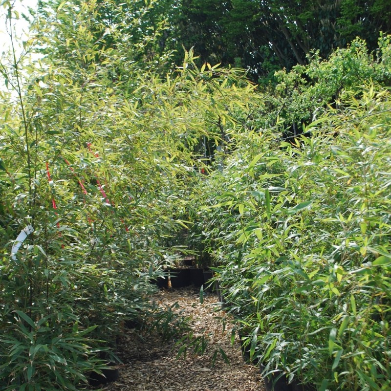 Vente en ligne de Bambou noir 4
