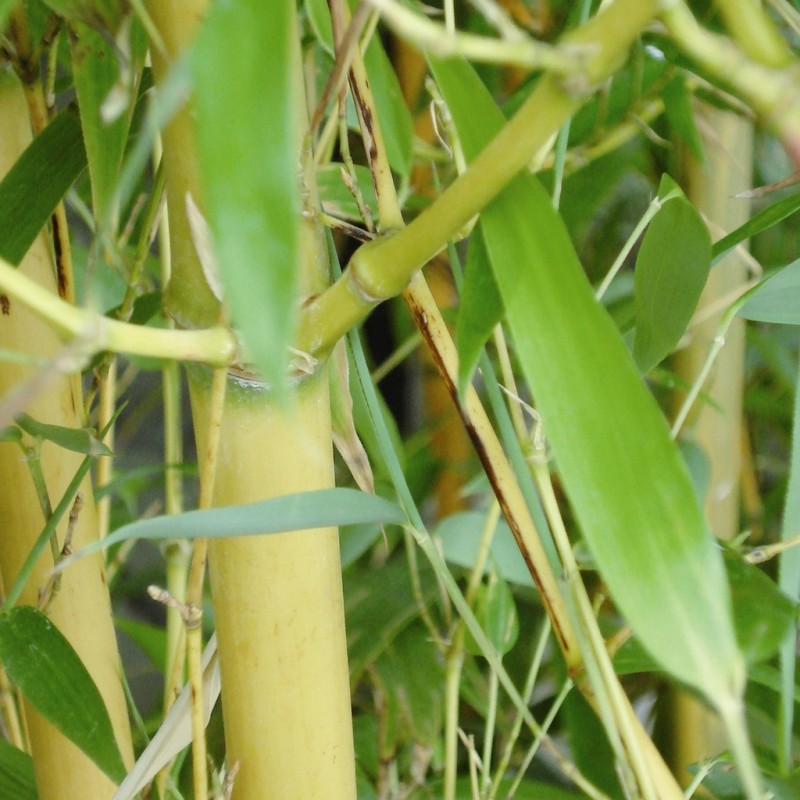 Vente en ligne de Phyllostachys 'Aureocaulis' 1