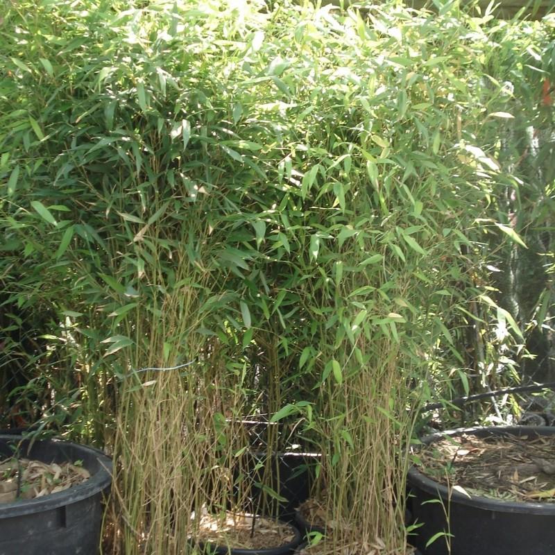 Vente en ligne de Phyllostachys 'Aureocaulis' 3
