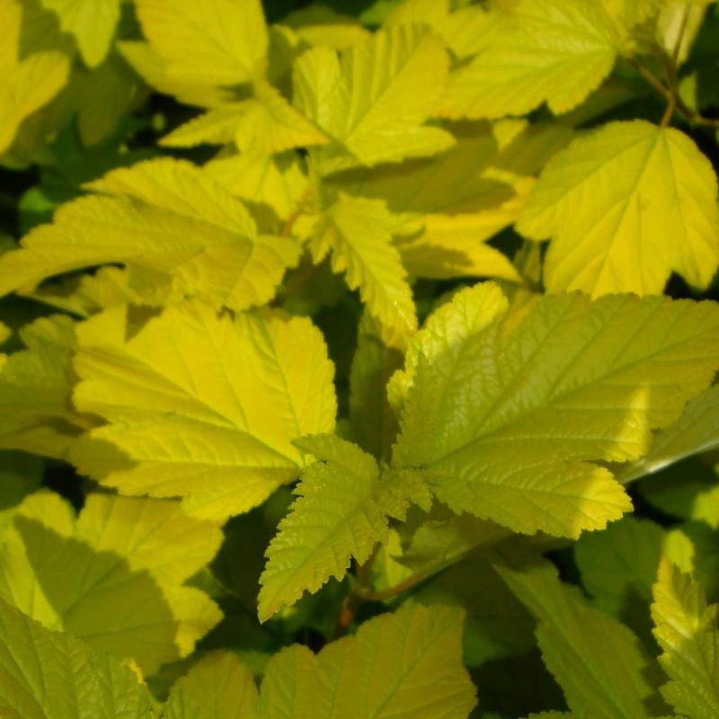 Vente en ligne de Physocarpus 'Dart's gold' 0