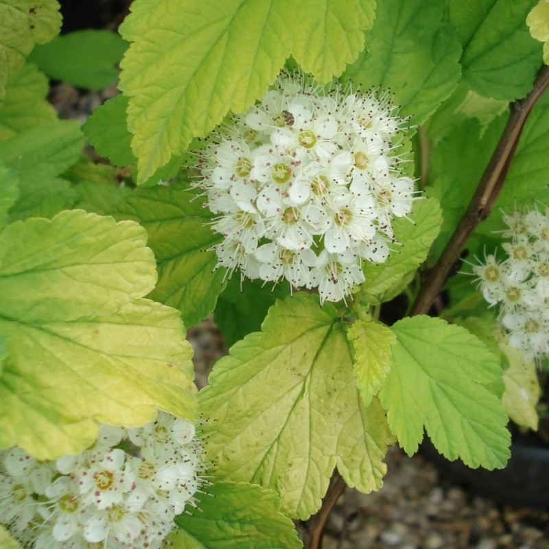Vente en ligne de Physocarpus 'Dart's gold' 1