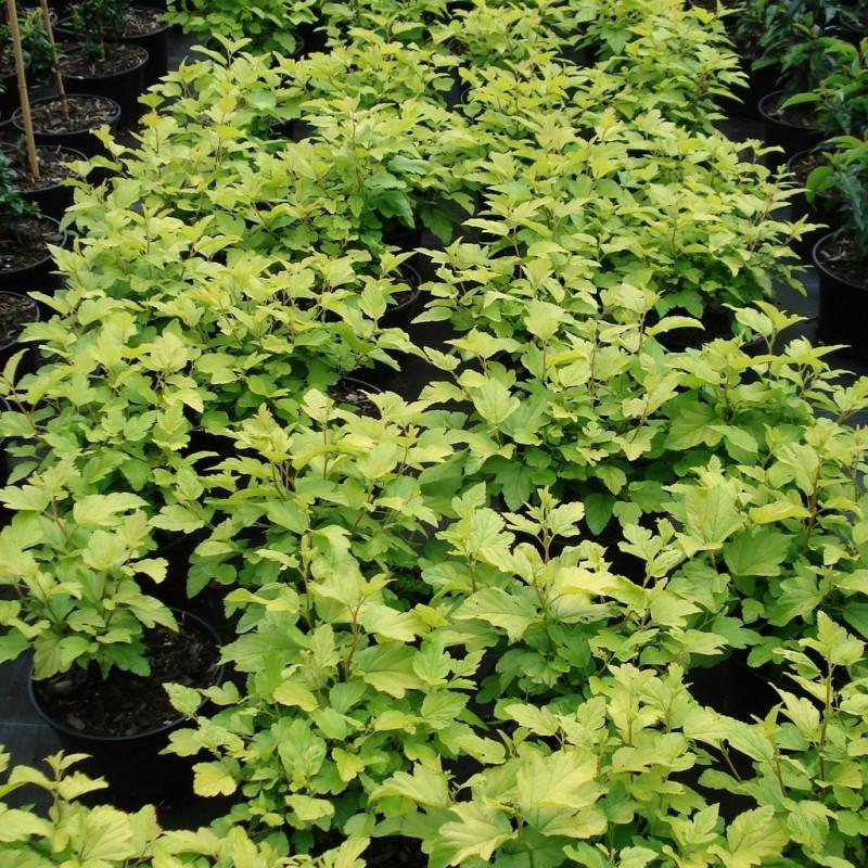 Vente en ligne de Physocarpus 'Dart's gold' 2