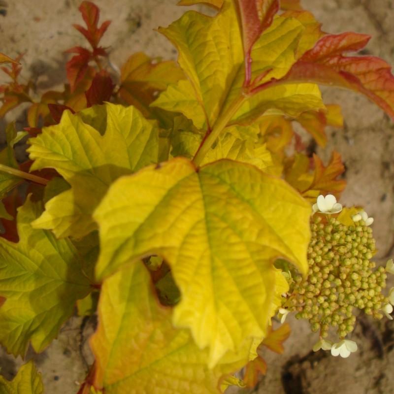 Vente en ligne de Physocarpus 'Dart's gold' 3