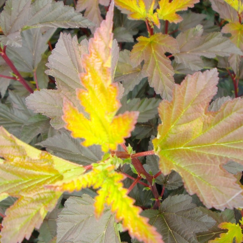 Vente en ligne de Physocarpus Diable d'or 0