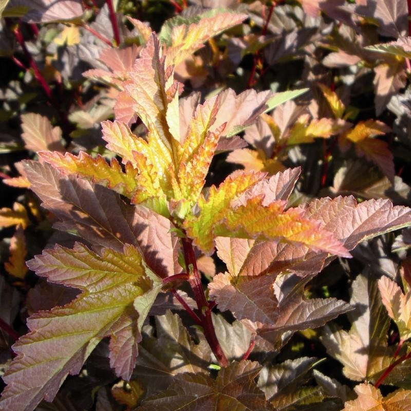 Vente en ligne de Physocarpus Diable d'or 1