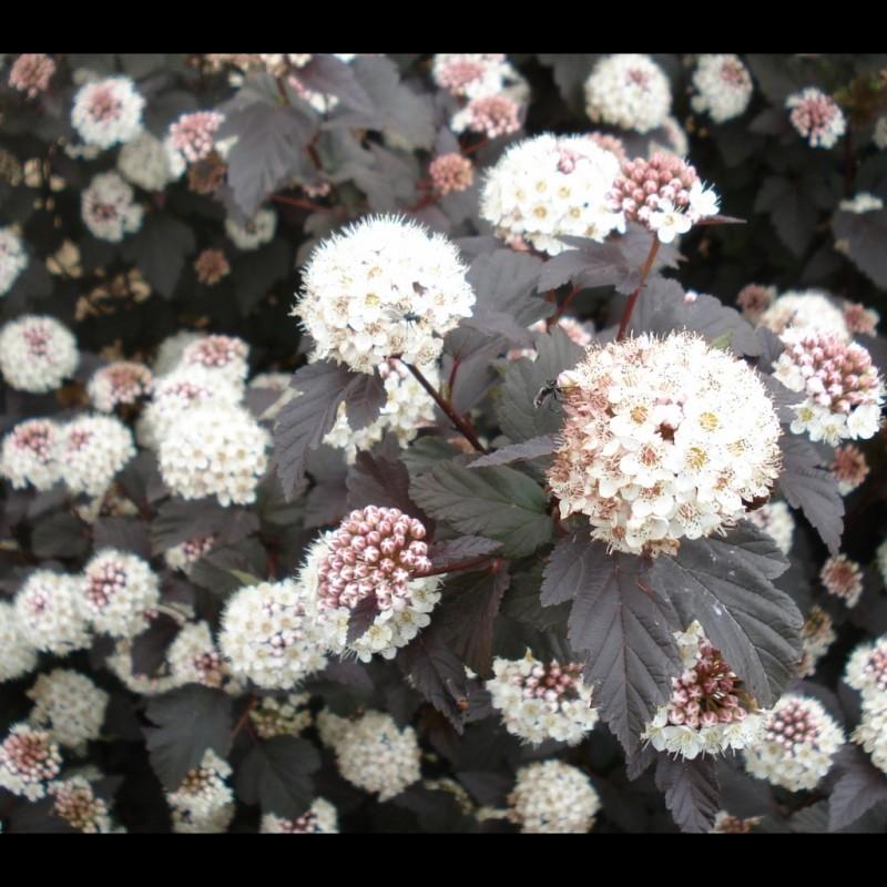 Vente en ligne de Physocarpus 'Diabolo' 0