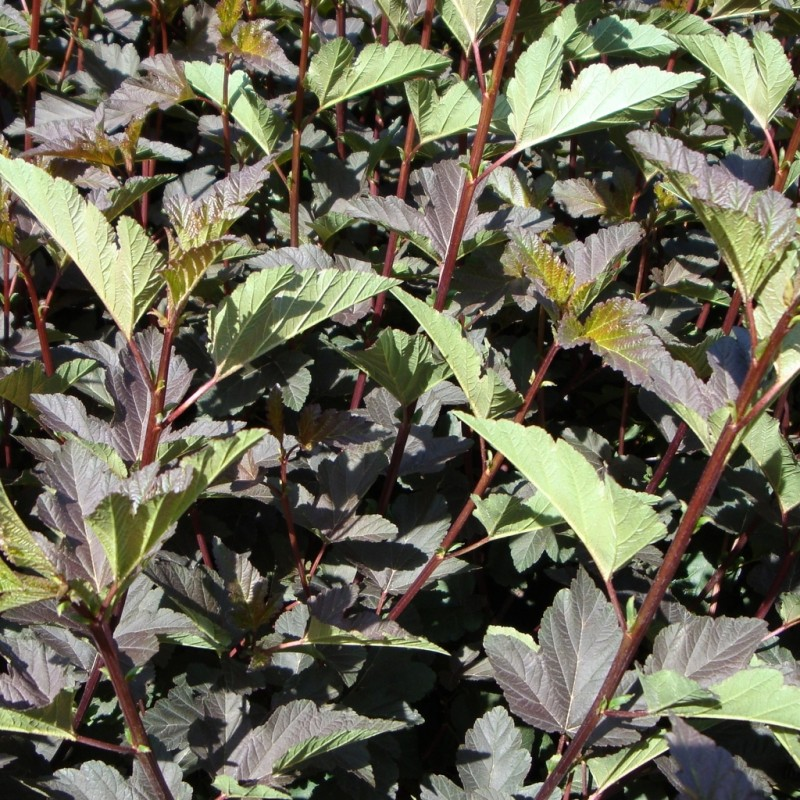 Vente en ligne de Physocarpus 'Diabolo' 1