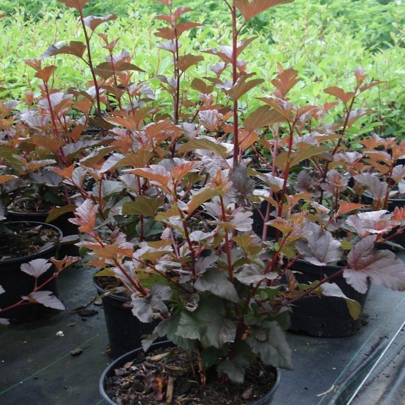 Vente en ligne de Physocarpus 'Diabolo' 2