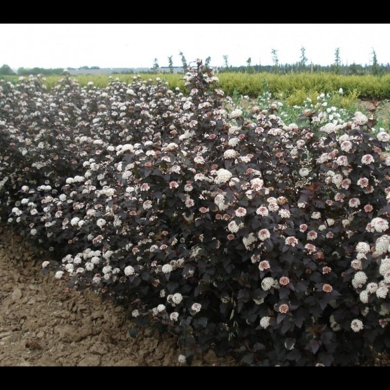 Vente en ligne de Physocarpus 'Diabolo' 3