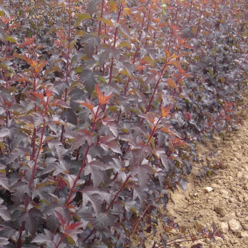 Vente en ligne de Physocarpus 'Diabolo' 4