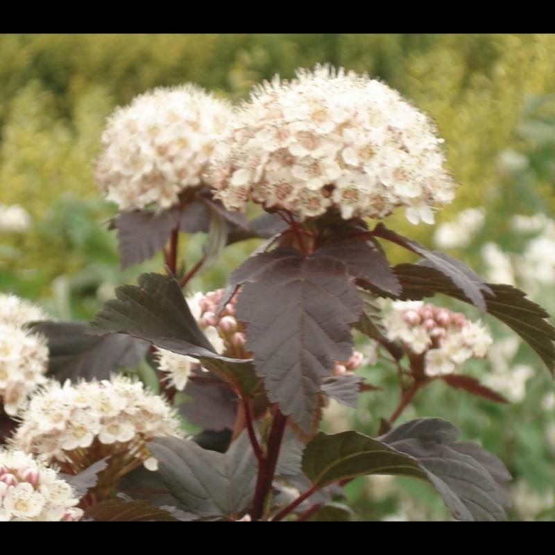 Vente en ligne de Physocarpus 'Diabolo' 5