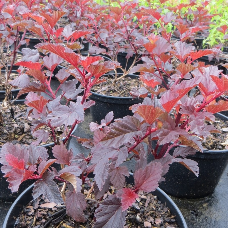 Vente en ligne de Physocarpus 'Lady in Red' 1