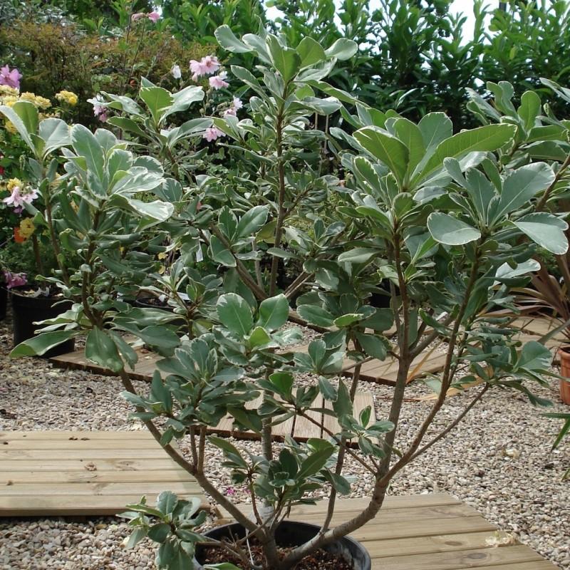 Vente en ligne de Pittosporum à petites feuilles panaché 1